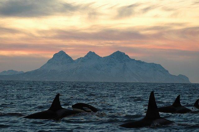 orka spotten